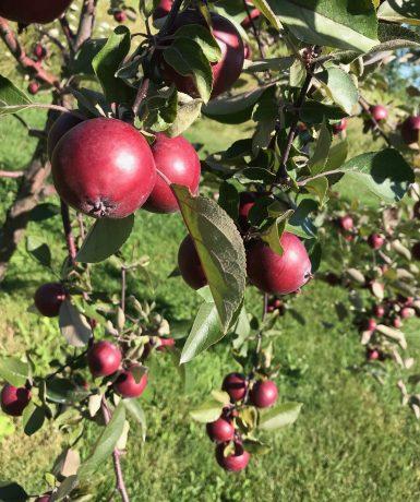 Vivement le temps des pommes !