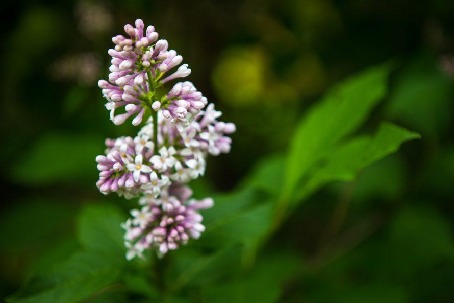 Jardin des lilas -6033